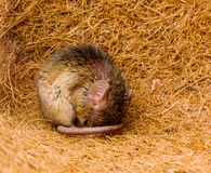 House mouse (Mus musculus) sleeping Royalty Free Stock Images