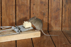 House mouse, Mus musculus, Stock Image