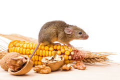 House mouse (Mus musculus) with walnut and corn Stock Image