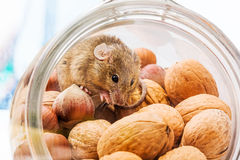 House mouse (Mus musculus) in walnut and corn Royalty Free Stock Image