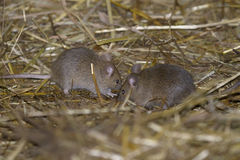 House mouse, musculus domesticus. Searching food Royalty Free Stock Photo