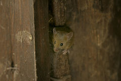 House mouse, musculus domesticus. Searching food Royalty Free Stock Images