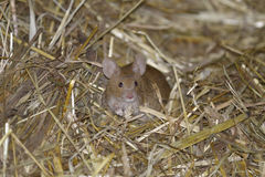 House mouse, musculus domesticus. Searching food Stock Photos