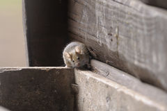 Free House Mouse, Musculus Domesticus Stock Photos - 13615363