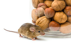 House mouse near walnut and corn jar Royalty Free Stock Image