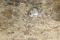 House mouse stock photos