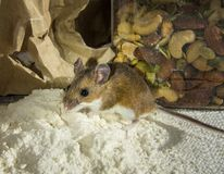 House mouse in the spotlight, caught standing in flour in a kitchen cabinet. royalty free stock images