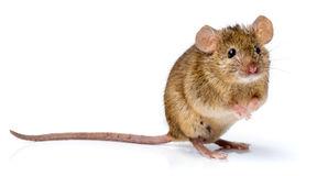 House mouse standing (Mus musculus). House mouse standing on rear feet (Mus musculus royalty free stock photos
