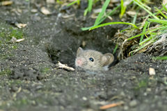 House Mouse Royalty Free Stock Photo