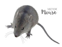House mouse on white Royalty Free Stock Photo