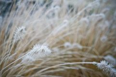 Winter frost on front yard decorative grass royalty free stock images