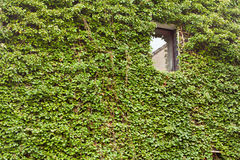 House overgron with Common Ivy Royalty Free Stock Photography