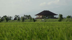 House in paddy field. Paddy fields and rice grass moving in the wind stock video