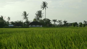 House in paddy field. Paddy fields and rice grass moving in the wind stock video footage