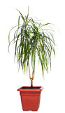 House palm (Dracaena marginata) Royalty Free Stock Image
