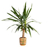 House palm (yucca) royalty free stock photo