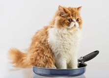 House Persian kitten Of Red and White Color. Red and White Persian domestic kitten sits in a metal frying pan Stock Photography