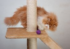 House Persian kitten Of Red and White Color. House Persian kitten of a red and white color on simple background Stock Photo