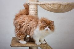 House Persian kitten Of Red and White Color. House Persian kitten of a red and white color on simple background Stock Photos