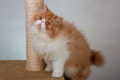 House Persian kitten Of Red and White Color. House Persian kitten of a red and white color on simple background Royalty Free Stock Images