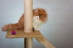 House Persian kitten Of Red and White Color. House Persian kitten of a red and white color on simple background Royalty Free Stock Image