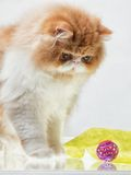 House Persian kitten Of Red and White Color. House Persian kitten of a red and white color on simple background Royalty Free Stock Photo