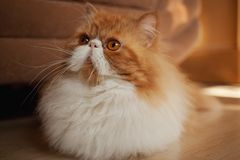 House Persian kitten Of Red and White Color Royalty Free Stock Photography