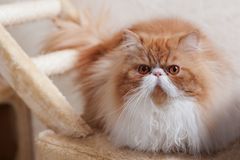 House Persian kitten Of Red and White Color Royalty Free Stock Images