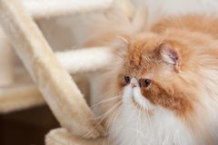 House Persian kitten Of Red and White Color Stock Photography
