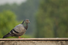 House Pigeon Stock Photography