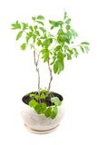 House plant. Royalty Free Stock Images