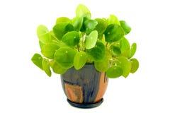House plant. Pilea isolated on white background royalty free stock photo