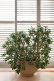 House plant. Jade tree in a pot and glass wall with blinds Stock Photography