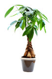 House plant Royalty Free Stock Photography