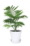 House plant Chamaedorea in a flower pot Royalty Free Stock Image