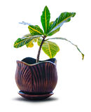 House plant clay pot isolated. Houseplant Croton in a clay pot, isolated on white Stock Photos