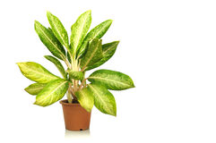 House plant in clay pot white background Stock Images