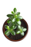 House Plant - Crassula Argentea or Money tree Stock Image