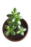 House Plant - Crassula Argentea or Money tree Stock Image