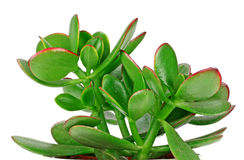 House plant Crassula in a flower pot isolated on a white backgro Stock Photography