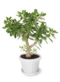 House plant Crassula Stock Images