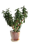 House plant Crassula Royalty Free Stock Photos