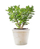 House plant Crassula on a white. House plant Crassula in a flower pot isolated on a white background royalty free stock photo