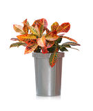 House plant -  Croton Stock Photos