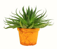 House plant (flower) Royalty Free Stock Photo