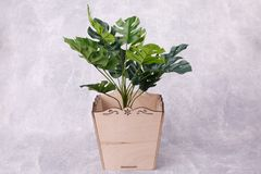 House plant in a flowerpot. Green house plant is growing in a rectangular wooden flowerpot, standing on the grey background royalty free stock photography