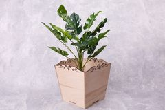 House plant in a flowerpot. Green house plant is growing in a rectangular wooden flowerpot, standing on the grey background royalty free stock photos