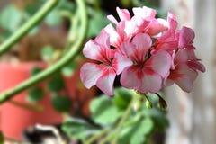 House plant Geranium rose. Royalty Free Stock Photos