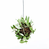 House plant hanging. On white background Royalty Free Stock Images