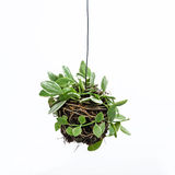House plant hanging. On white background Royalty Free Stock Photos
